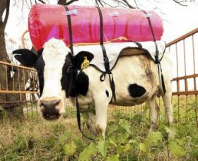 Cow with backpack