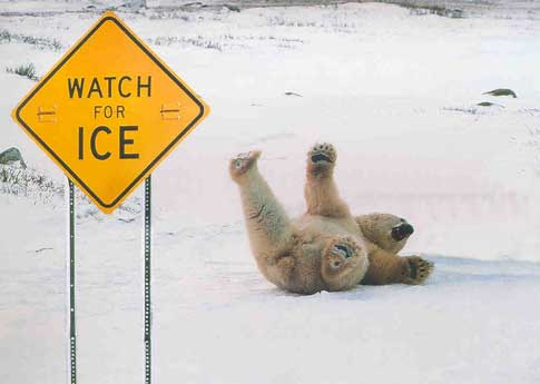 Funny Polar Bear on Ice photo