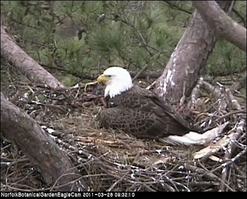 cam  norfolk botanical garden bald eagle cam  desultory blog