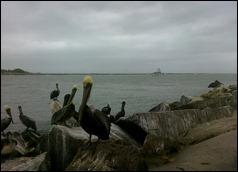 ftpierceinlet_pelicans