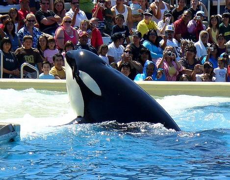 Seaworld Killer Whale Shamu