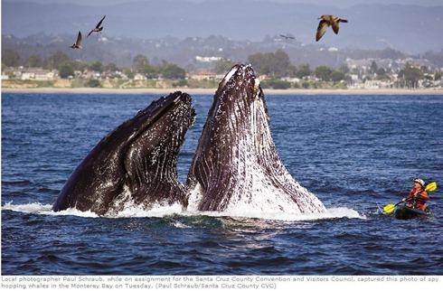 humpbackwhaleskayak