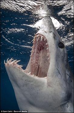shark_samcahir1