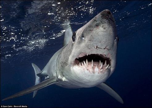 shark_samcahir4