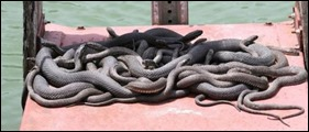 pileofnortherwatersnakes