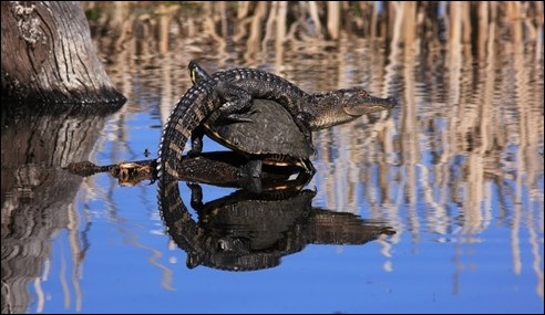 An alligator and turtles together in a pond
