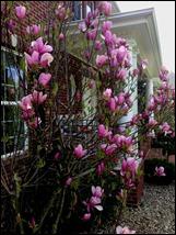 magnolia130421
