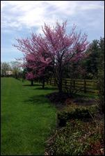 redbudtree130421