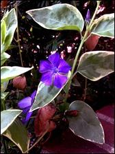 vincapurpleflower130421