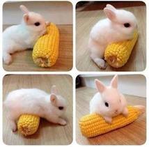 bunnycornoncob