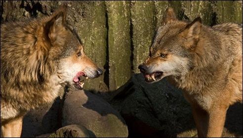 wolvessnarling