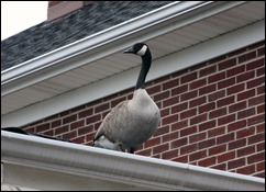 GeeseOnRoof_porch2_150406