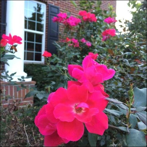 Roses160921
