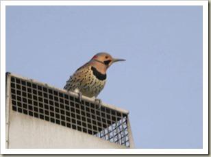 Woodpecker170406s
