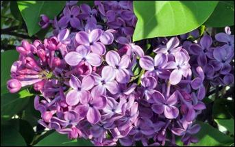 LilacHorzontalSm170414