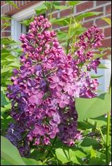 LilacPurple1_170414