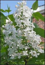 LilacWhite170414