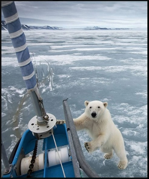 PolarBearSailboatIce2018
