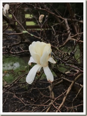 WhiteStarMagnolia180329