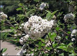 FloweringBush_190421