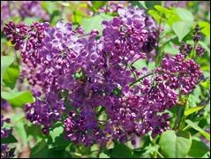 Lilac_b_190421