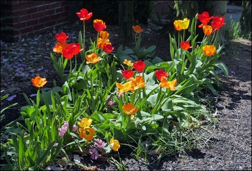 Tulips_a_190421