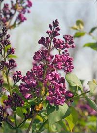 Lilacs200407