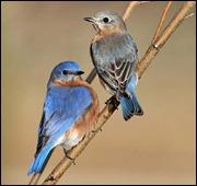 EasternBluebirds