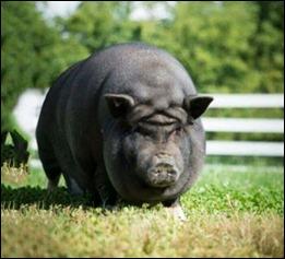 PigForehead
