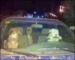 DogsDriving_m_s
