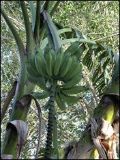 Condo1718_Bananas210430