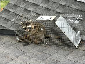 Raccoon2_210608